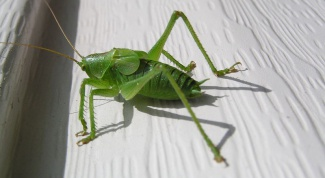 Grasshopper than a locust