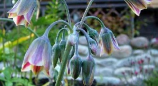 Нектароскордум: выращиваем дома и на клумбе