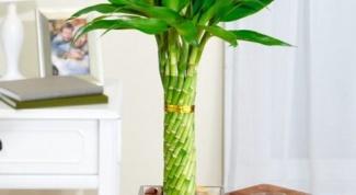 Что делать, если ствол комнатного бамбука пожелтел