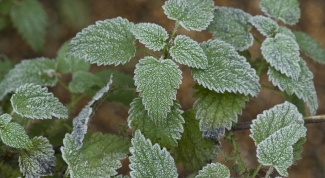 Why nettle stings