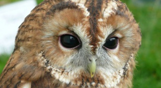 As I hear owls