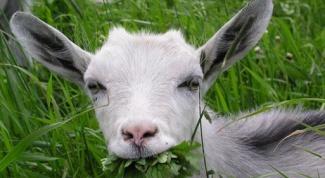 Почему коза какает шариками