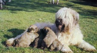 Как определить, что у собаки начинаются роды
