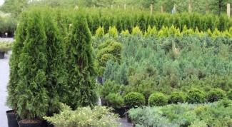 Как  ухаживать за вечнозелеными деревьями