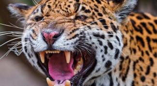 Чем зубы хищника отличаются от зубов травоядного?