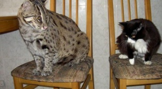 Как ухаживать за камышовым котом в домашних условиях