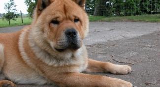 Крупные породы собак: правила содержания