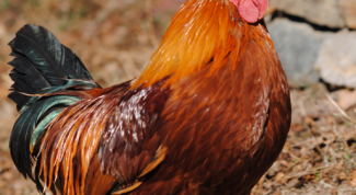 How to rid chickens of lice
