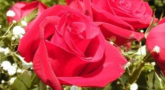 Как разводить розы