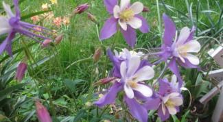 Какие многолетние цветы растут в средней полосе