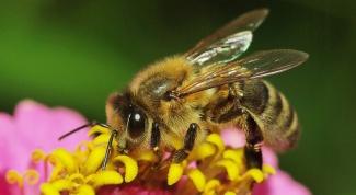 Как избавиться от аллергии на пчел