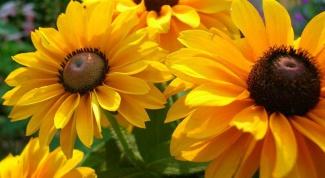 Рудбекия - солнце на клумбе