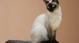 Особенности сиамских кошек