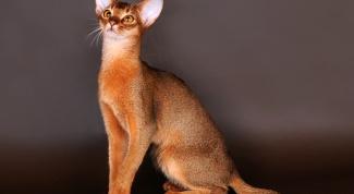 Особенности кошек абиссинской породы