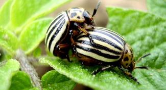 Методы избавления от колорадского жука