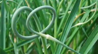 If planting garlic seeds