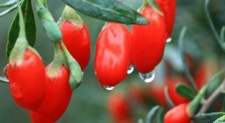 Так ли полезны ягоды годжи