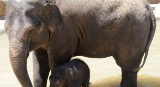 Как протекает беременность у животных