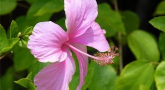 How propagate hibiscus