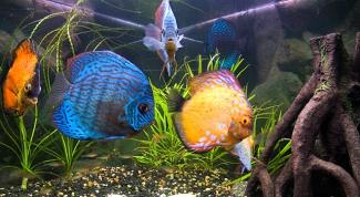 Популярные аквариумные рыбки семейства цихлид