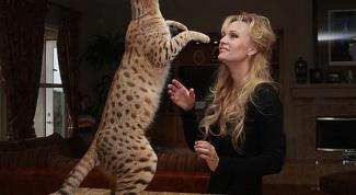 Особенности кошек породы саванна