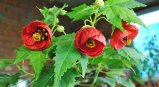Какой домашний  цветок самый неприхотливый