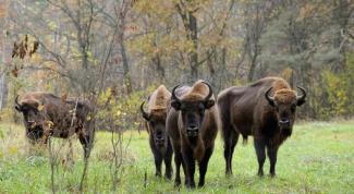 Вымирающие животные и птицы России