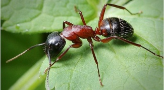 How to bring ants in the garden