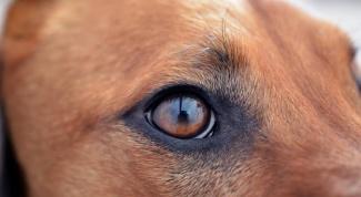 Египетская собака - самая древняя порода