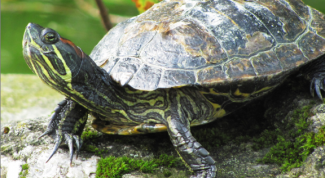 Where and how to overwinter a marsh turtle