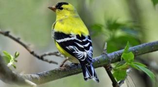 Какая птица любит семена репейника
