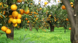 Which countries grow oranges
