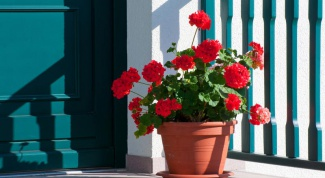 What flowers can be grown at home from seed