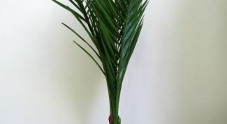 Как вырастить настоящую финиковую пальму из обычной косточки
