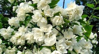 Сорта садового жасмина (чубушника) с душистыми цветами