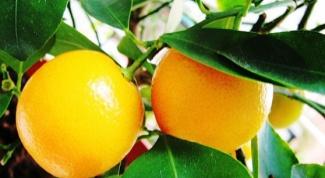Как вырастить апельсин из косточки в домашних условиях