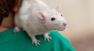 Как ухаживать за домашними крысами