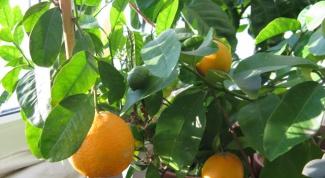 Какое освещение нужно мандариновому деревцу