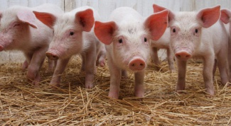 Breeding pigs: what breed to choose