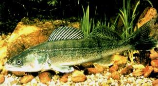 Рыба судак: интересные факты и полезные свойства