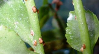 Как победить щитовку на комнатных растениях