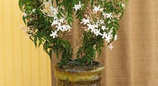 Почему не цветет комнатный жасмин