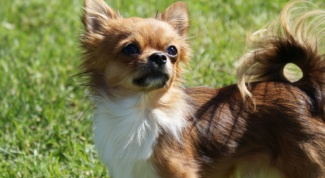 Как выглядят собаки чихуахуа