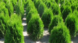 How to transplant pine tree