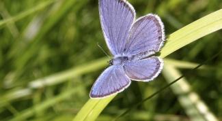Как выглядит бабочка голубянка