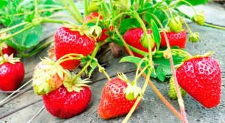 How to water the strawberries