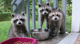 Is it possible to keep the raccoon at home