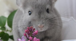 How much is a chinchilla