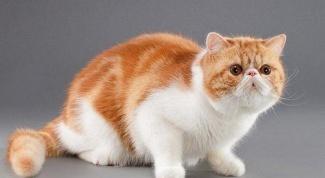 Какие существуют породы кошек
