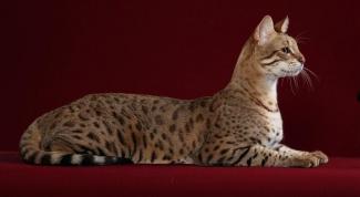 Сколько стоит котенок породы саванна
